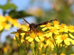 Close up of butterfly on yellow flowers